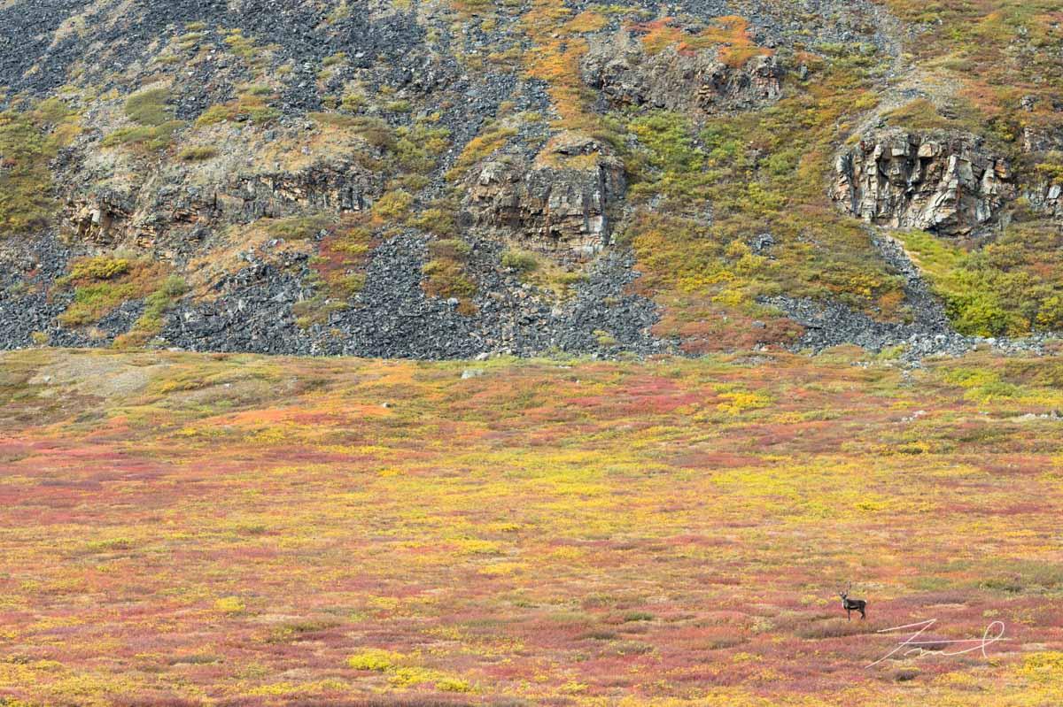 赤と黄色に紅葉した北極圏の大地と青黒い岩山、その麓を一頭のトナカイが歩く