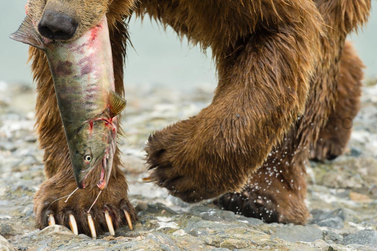 クマの鼻先と四足のクローズアップ。咥えられた鮭が体液を流す
