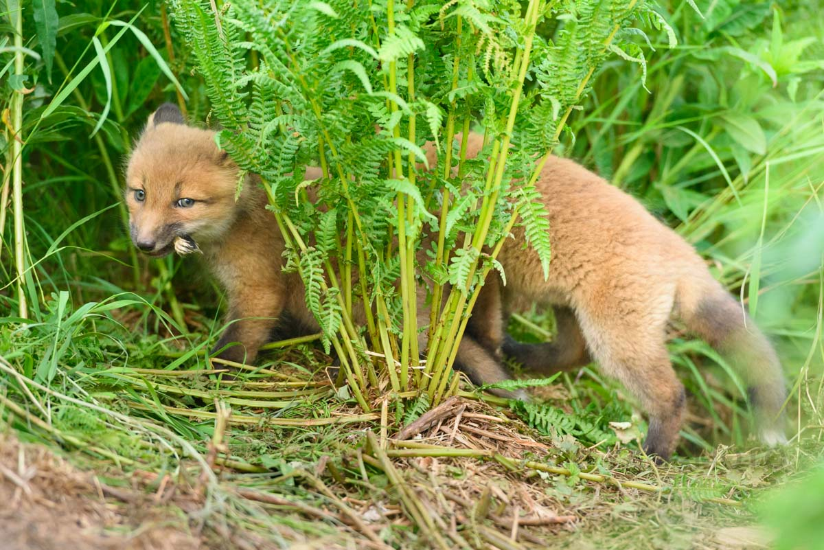 Fox puppies play around with a birdie