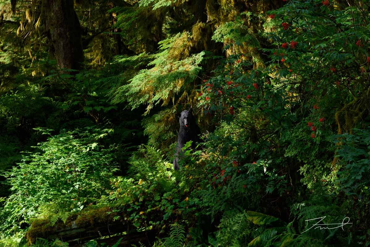 深い森の中ブラックベアーが赤い樹の実を食べる