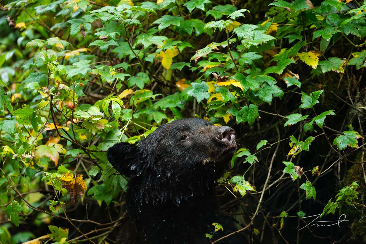 a black bear pops up out of deep green, and look around.