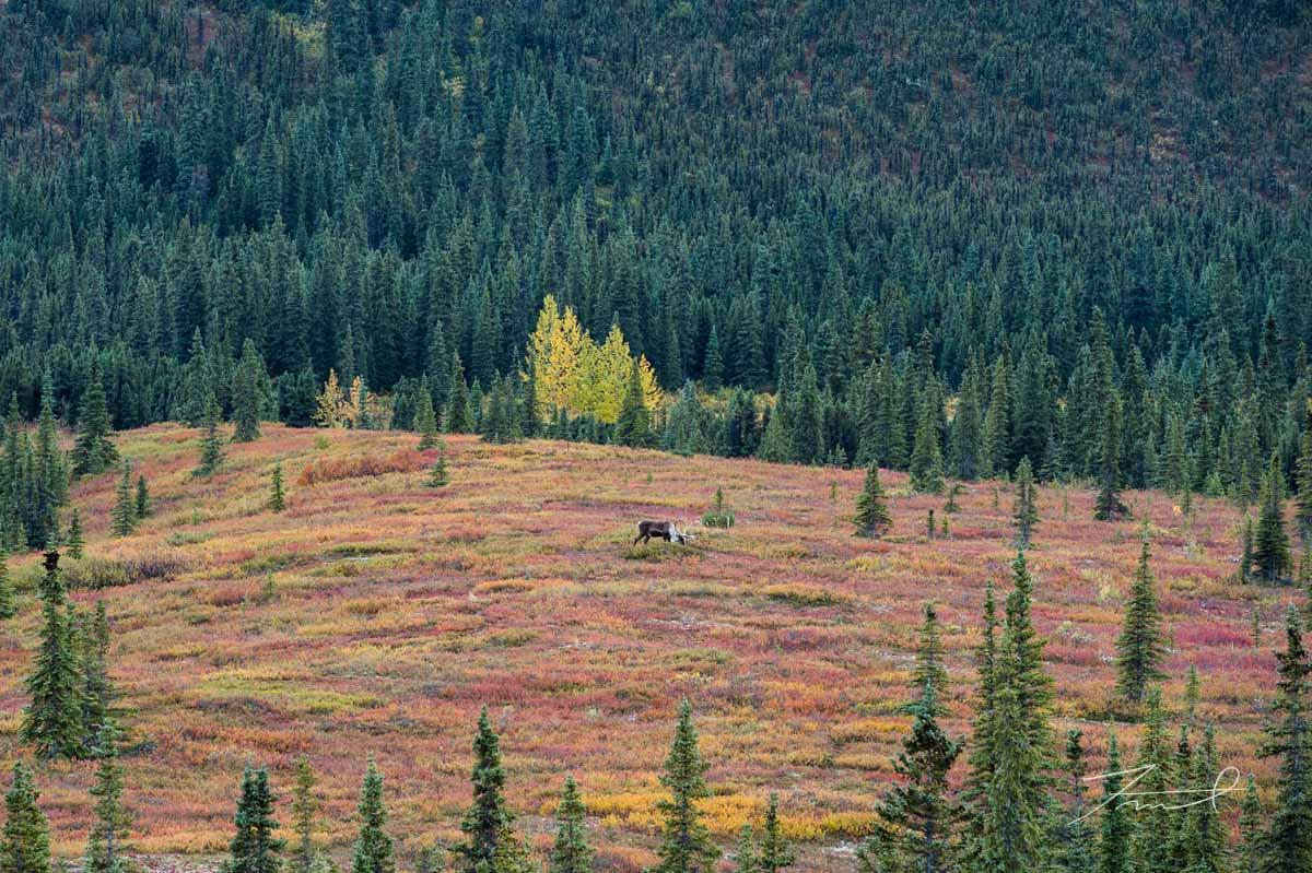 スプルースとツガが茂る森の手前に赤く色づいたブルーベリーとヒメカンバの丘が広がる。中央に一頭のカリブー