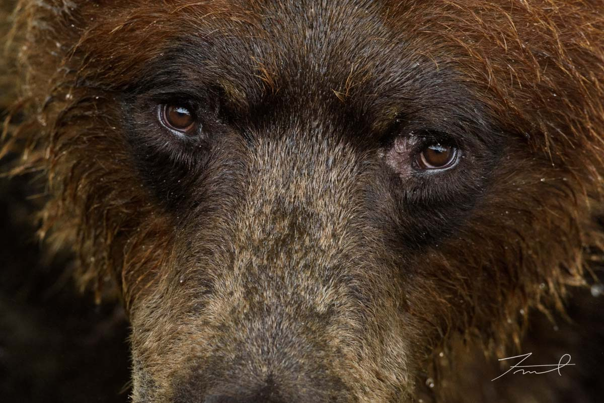 Up close shot of a grizzly