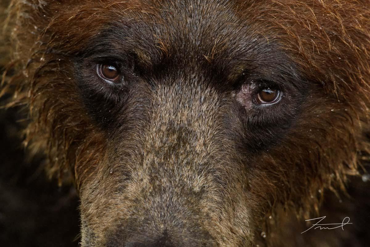 レンズを見つめるヒグマの顔のクローズアップ