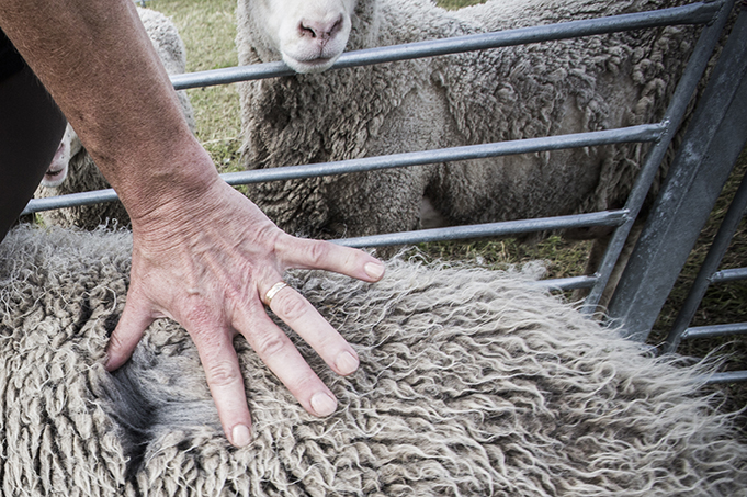 A hand stretches out the fleece on the back of a grey sheep, revealing the rich colour underneath. In the background, two curious sheep look on from their pen