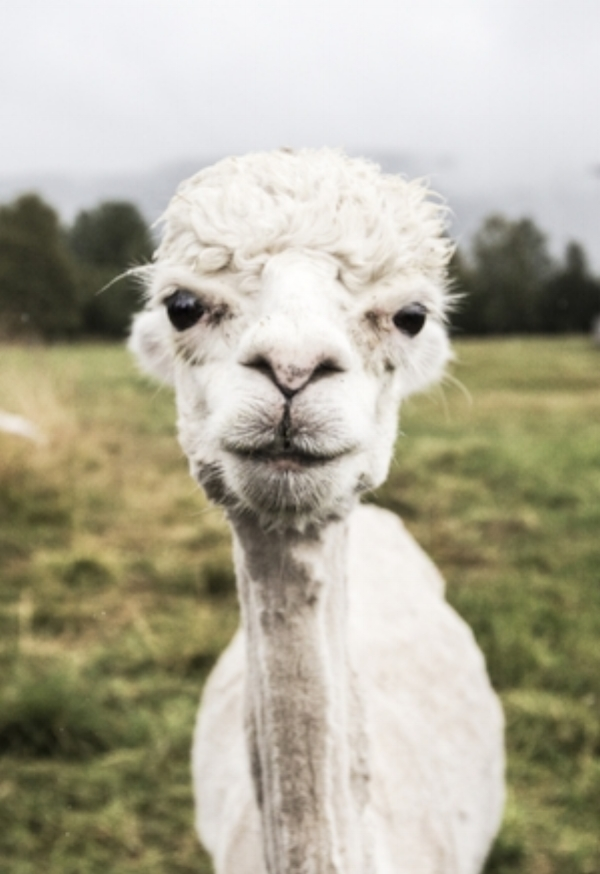 A white alpaca with dark eyes stares curiously into the camera while standing in an open field