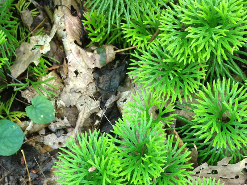 Photo of evergreen southern ground cedar or fan clubmoss, a lycopod, at Stone Mountain State Park, North Carolina