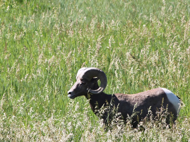 Badlands National Park in South Dakota image of a bighorn sheep in a green grassland field