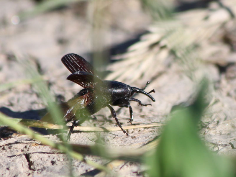 Badlands National Park photo of weevil insect on the ground in South Dakota