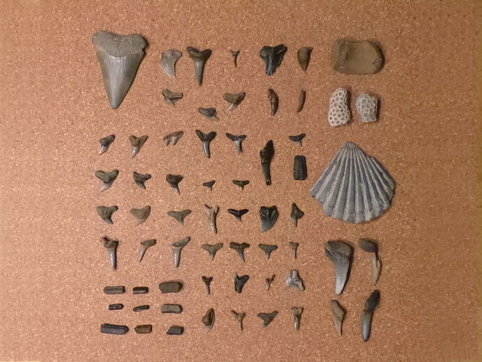 Collection of fossilized shark teeth, skate grinding plate, dolphin teeth, seashell, coral, vertebrae bones from Aurora, NC