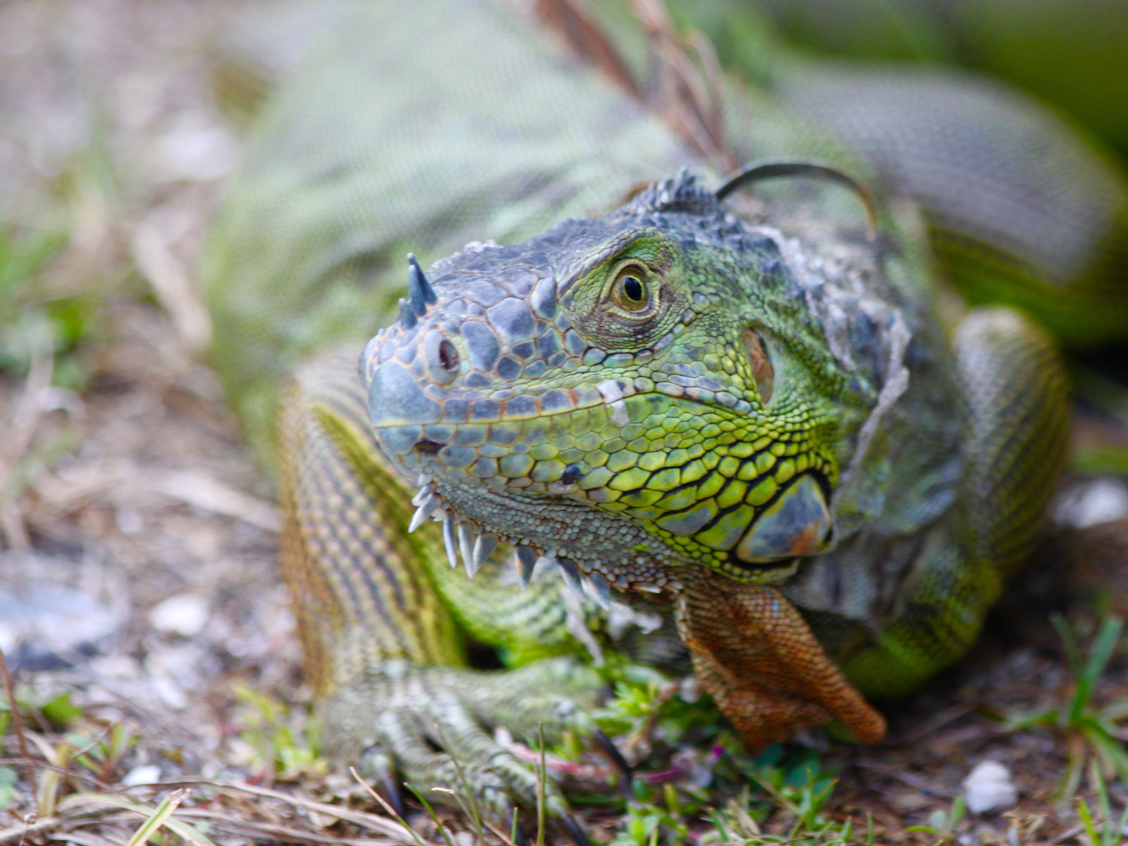 Close up headshot of large green iguana