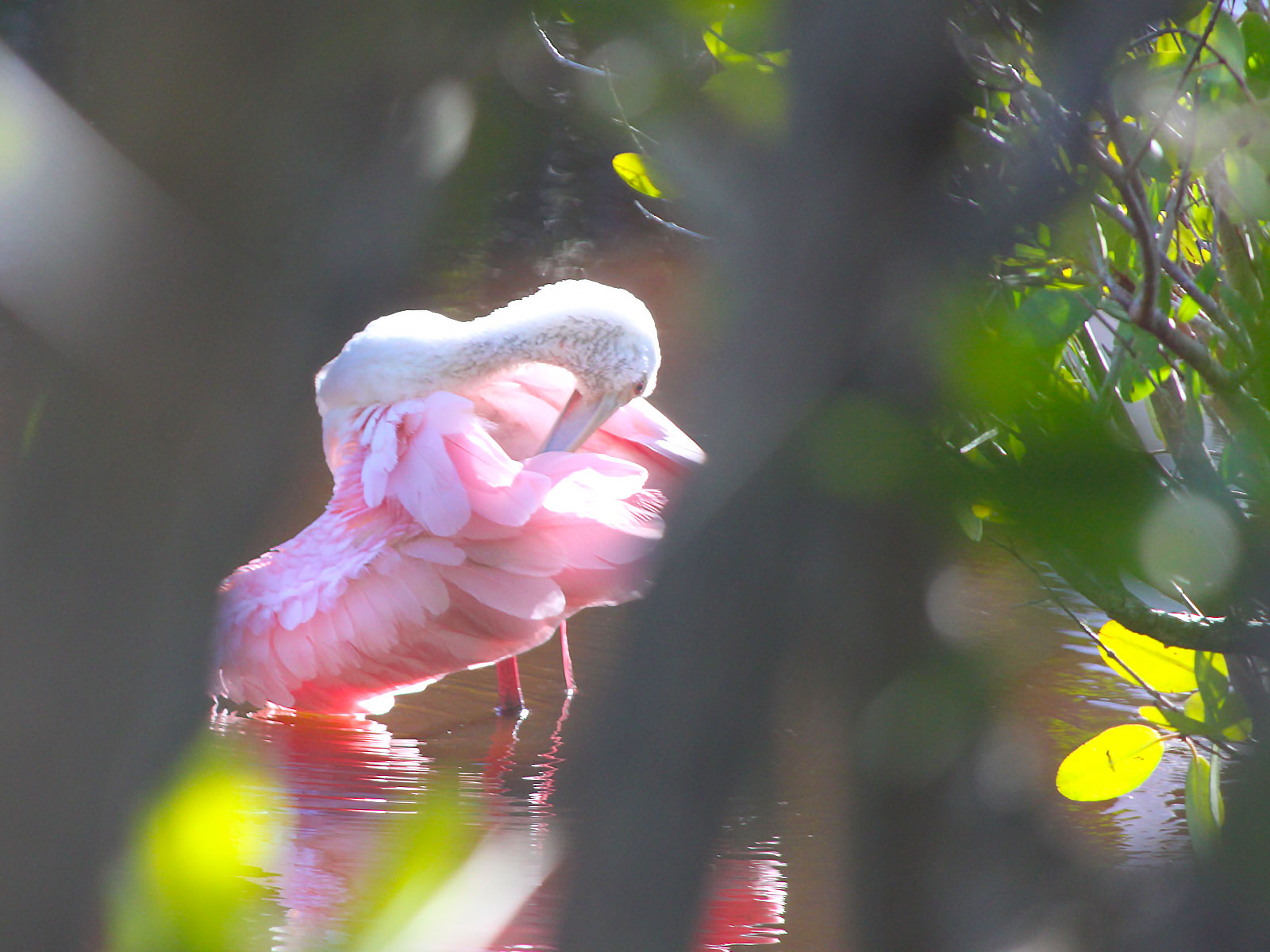 Roseate spoonbill fluffing feathers at J. N. Ding Darling National Wildlife Rufuge, Sanibel Island, FL