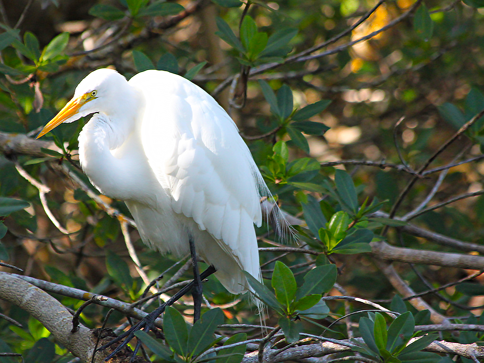 Great egret in J.N. Dig Darling National Wildlife Refuge, Sanibel Island, Florida