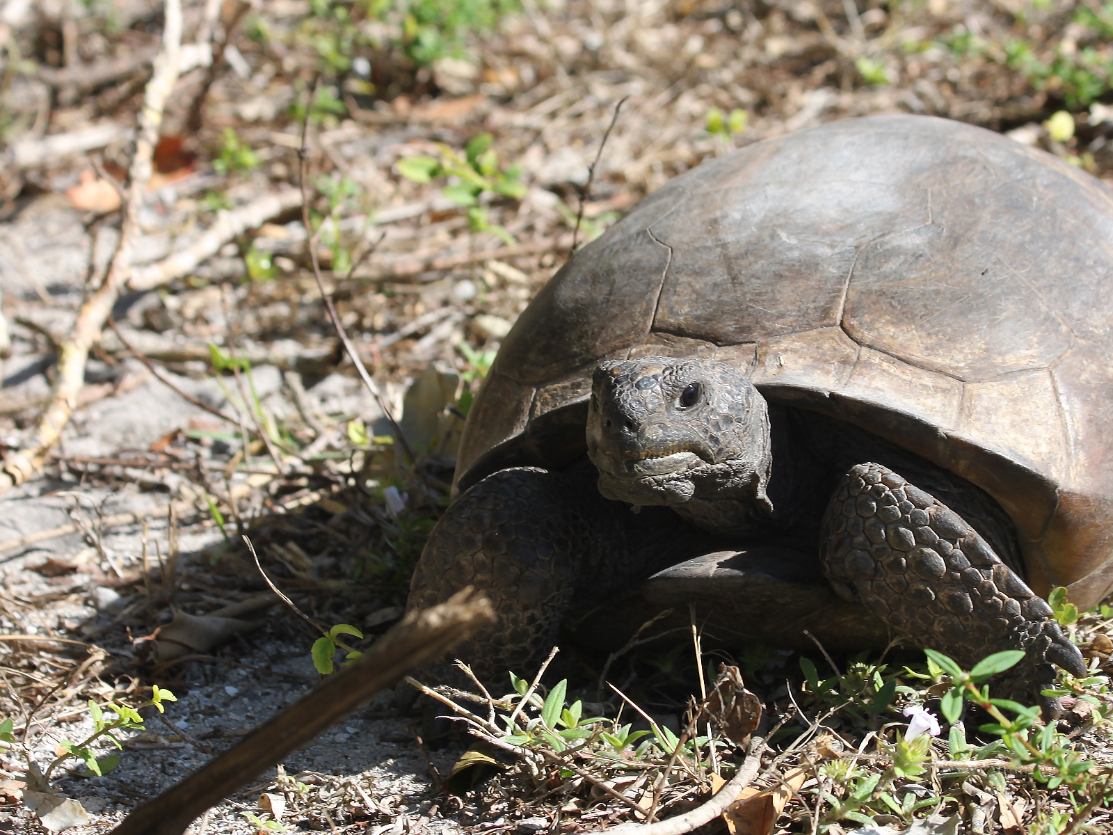 Close up of a gopher tortoise in J.N. Ding Darling National Wildlife Refuge, Sanibel Island, FL