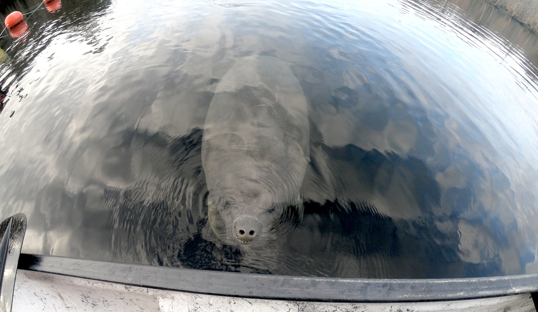 Manatee gazing at boater at Blue Spring State Park, Florida