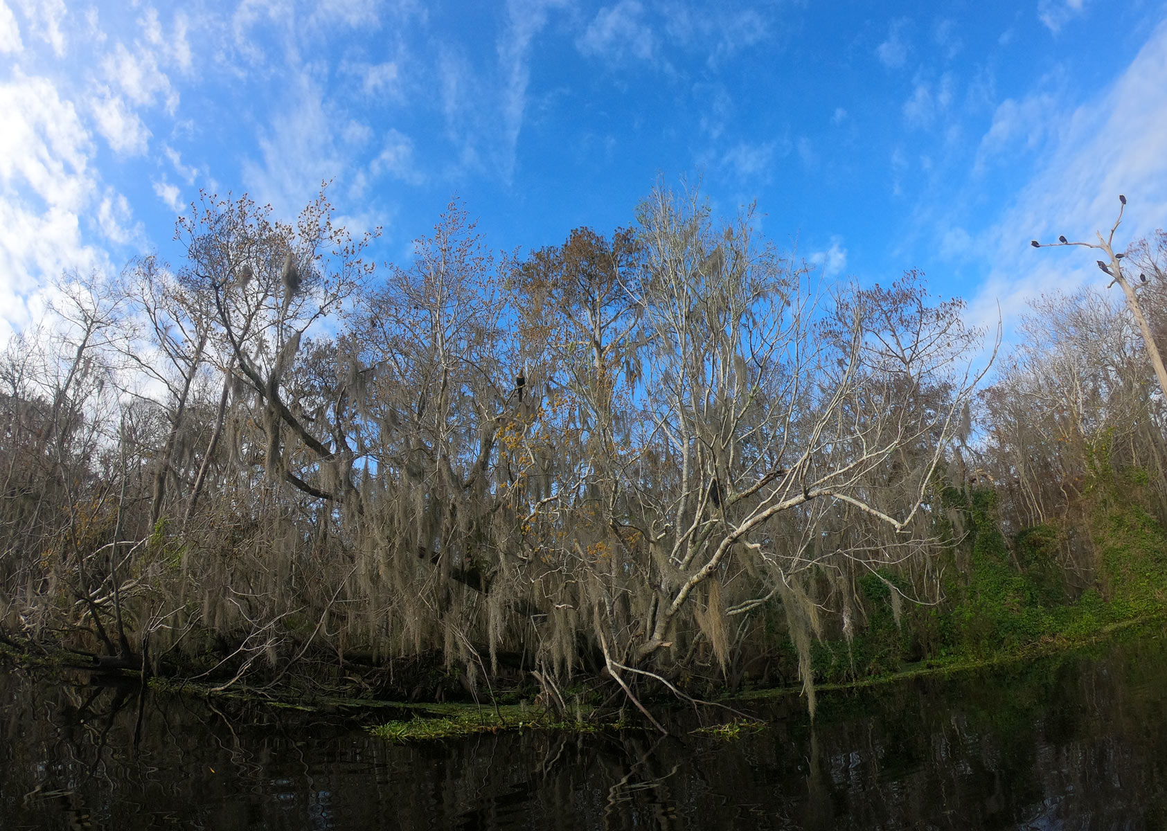 Large branched tree with Spanish moss under a deep blue sky on the St Johns River at Blue Spring State Park, Florida