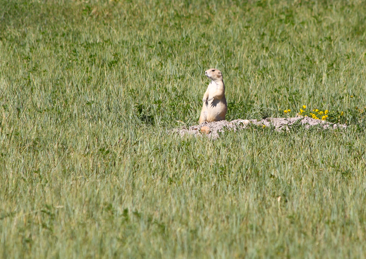 Prairie Dog in Badlands National Park, South Dakota