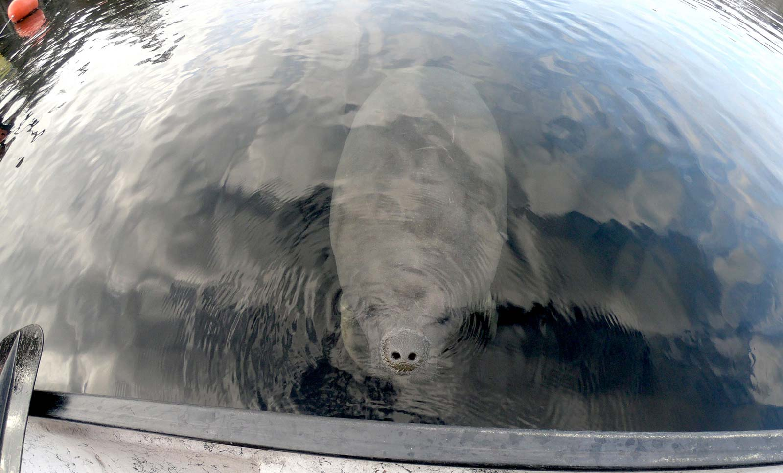 Manatee at Blue Spring State Park looking at paddler