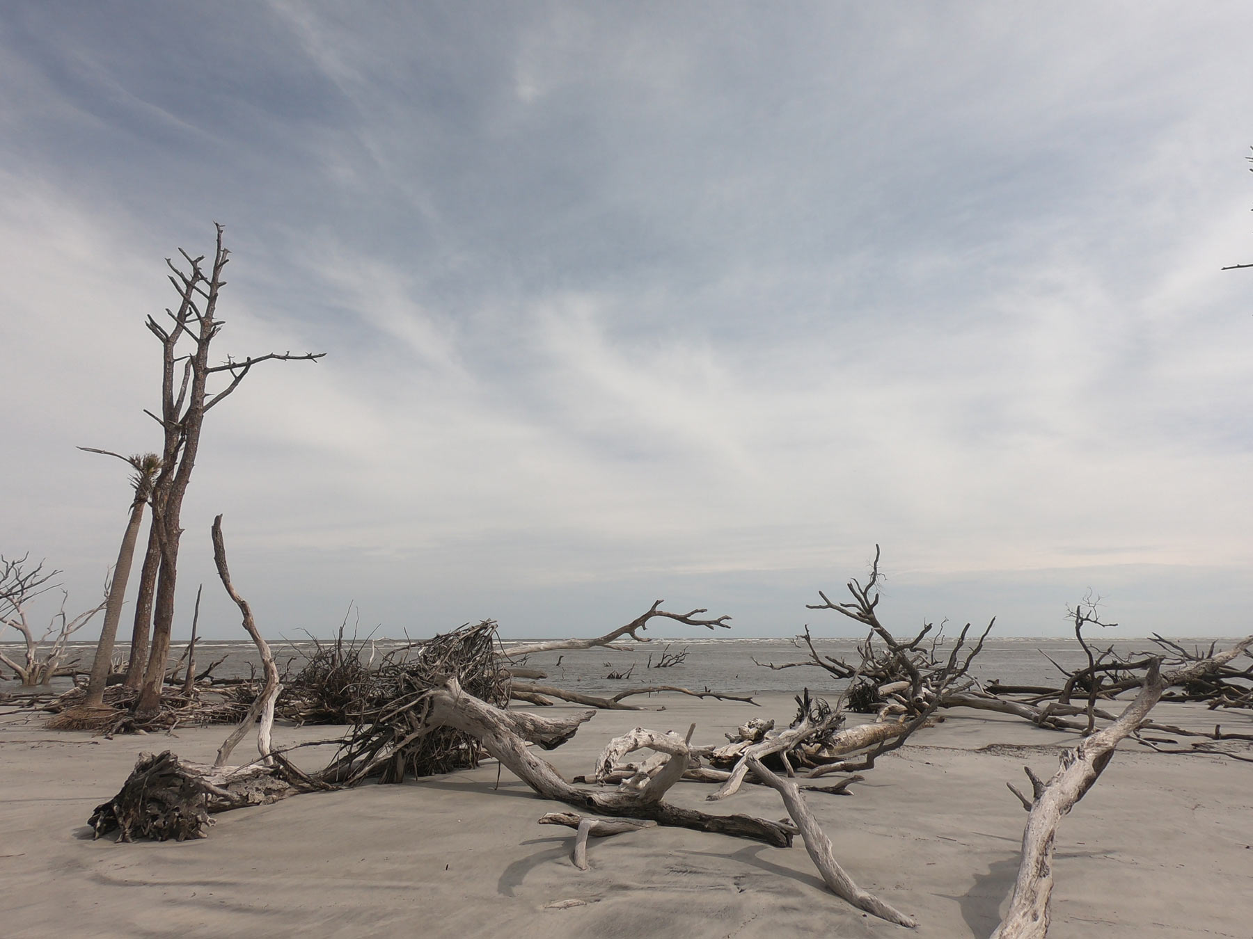 Fallen trees of a boneyard beach on Little Hunting Island, at Hunting Island State Park, SC