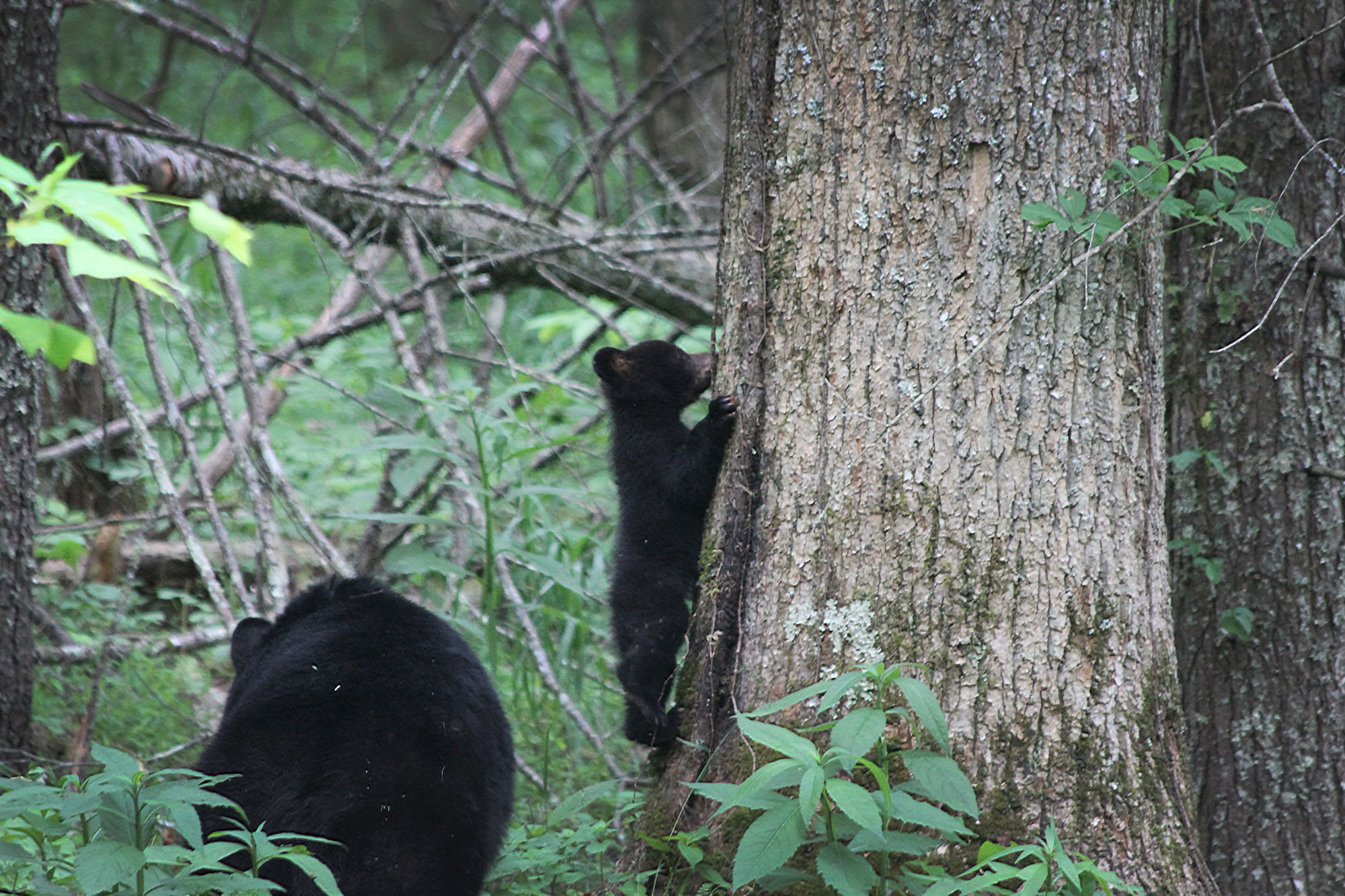 Black mother cub with baby cub climbing a tree in Cades Cove, Great Smoky Mountains National Park, Tennessee