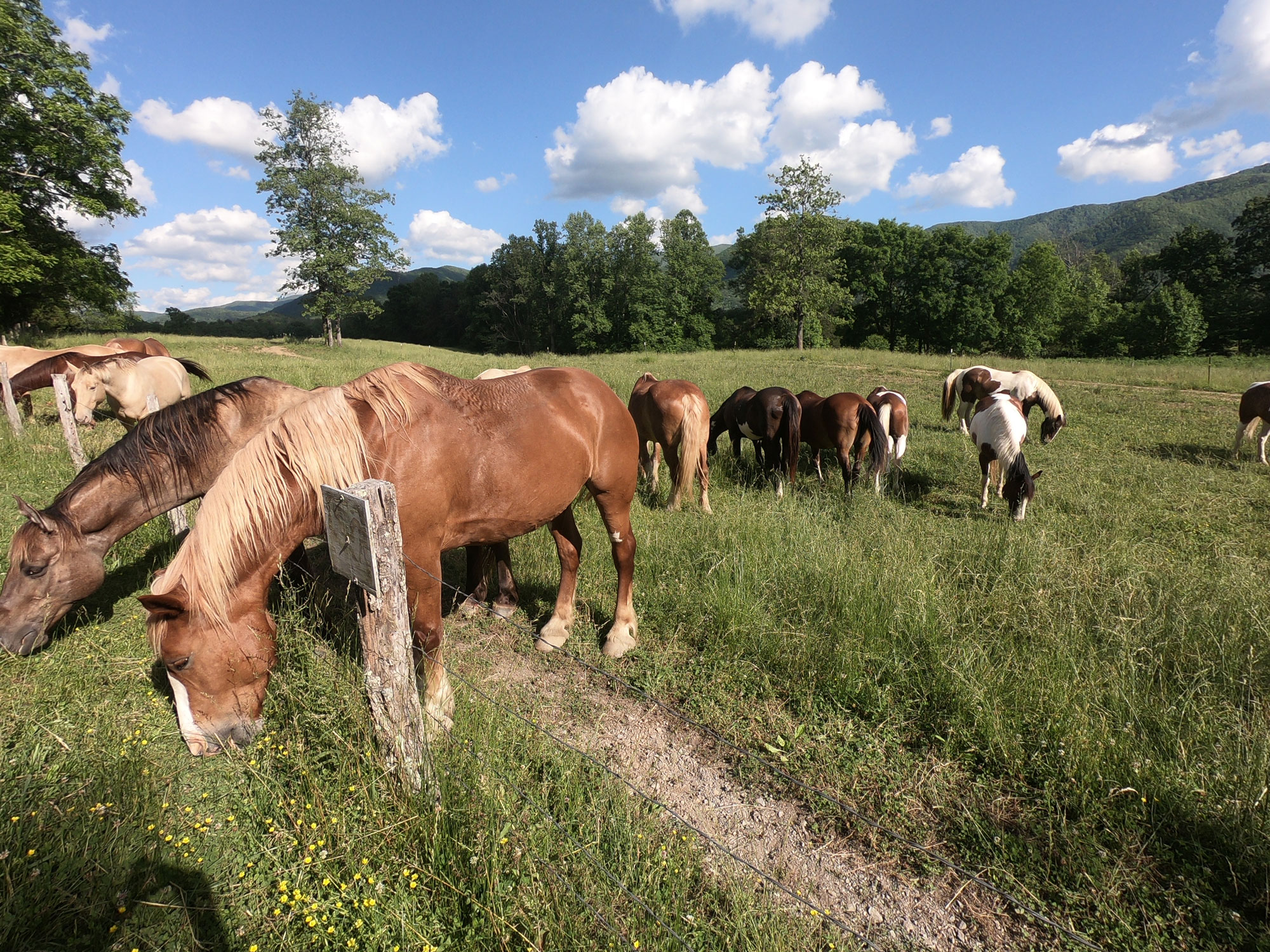 Stable riding horses in field in Cades Cove, Great Smoky Mountains National Park, Tennesseee