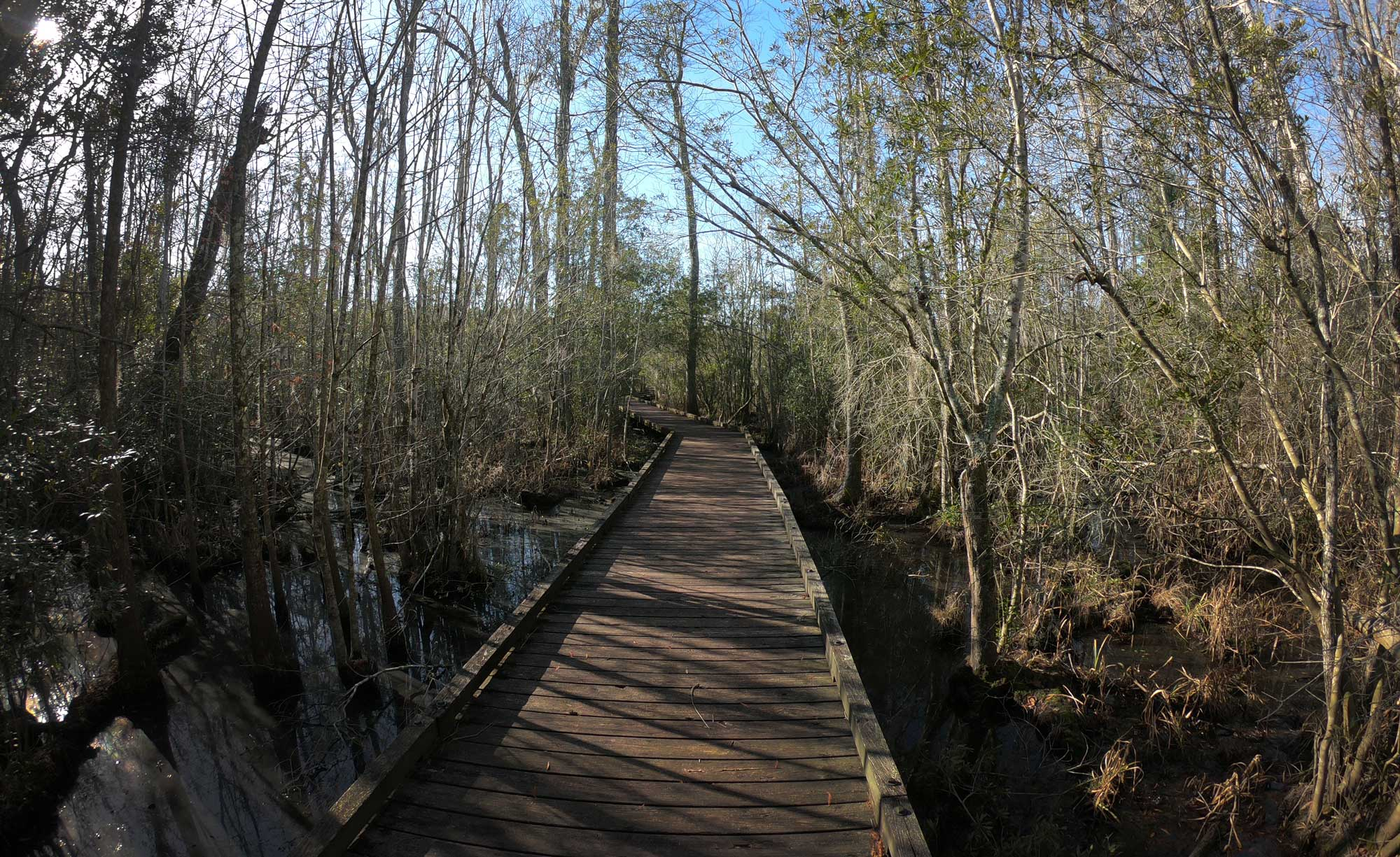 Goose Creek State Park Palmetto Boardwalk through wetlands in North Carolina