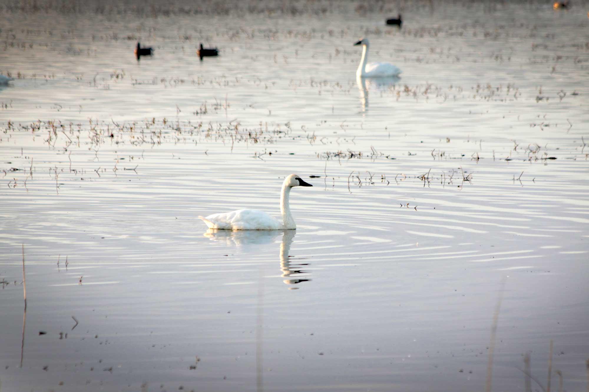 Tundra swans at Mattamuskeet National Wildlife Refuge, North Carolina