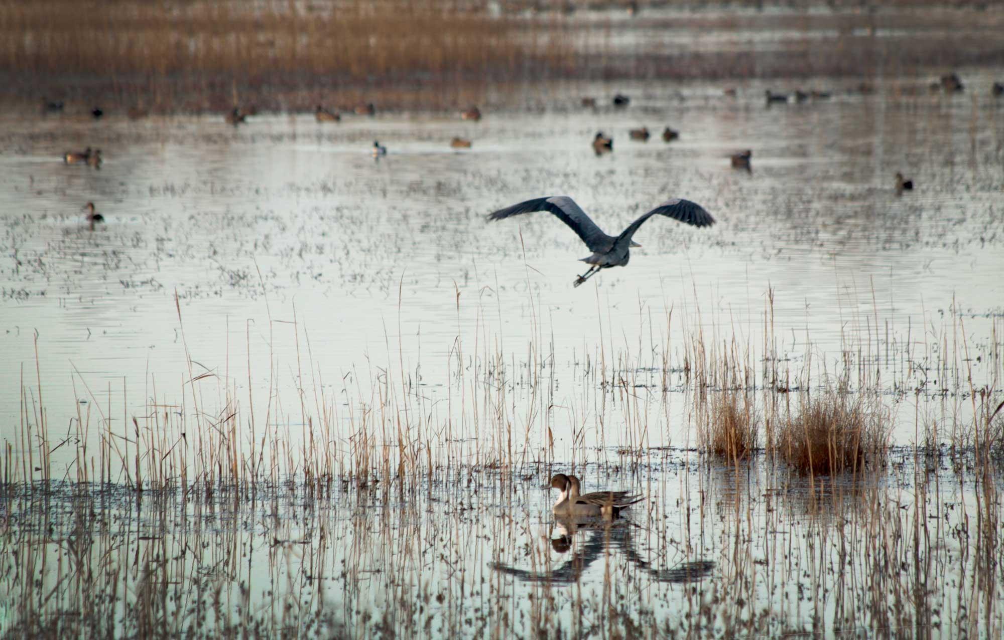 great blue heron flying over Lake Mattamuskeet with ducks in the marsh