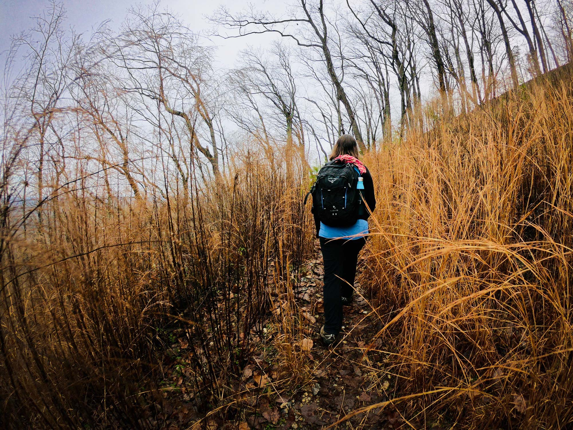 Hiker walking through the tall yellow brush on the Mountain Loop Trail  in Morrow Mountain State Park, North Carolina