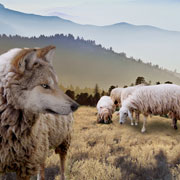 wolves and sheep