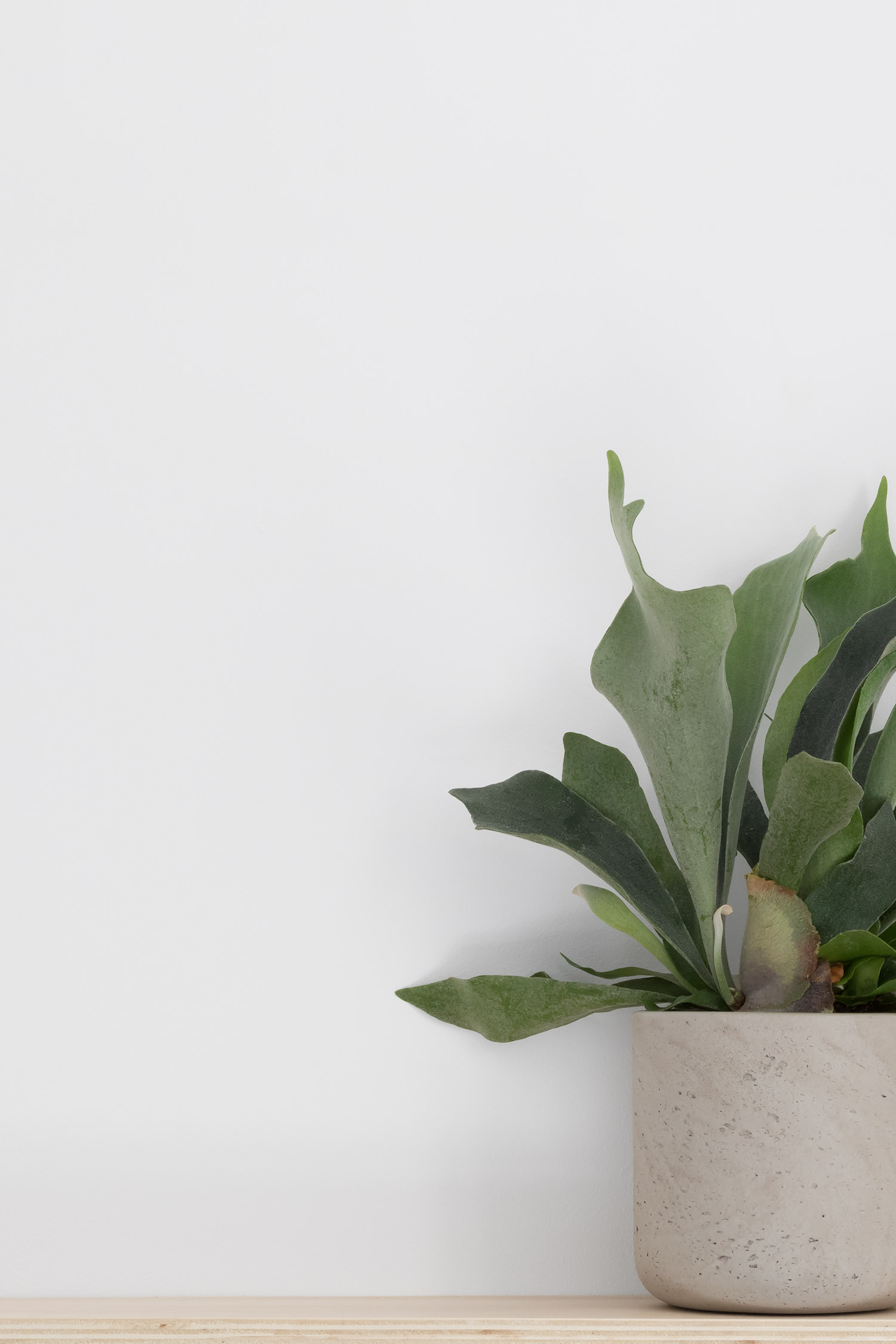 Platycerium bifurcatum in concrete planter