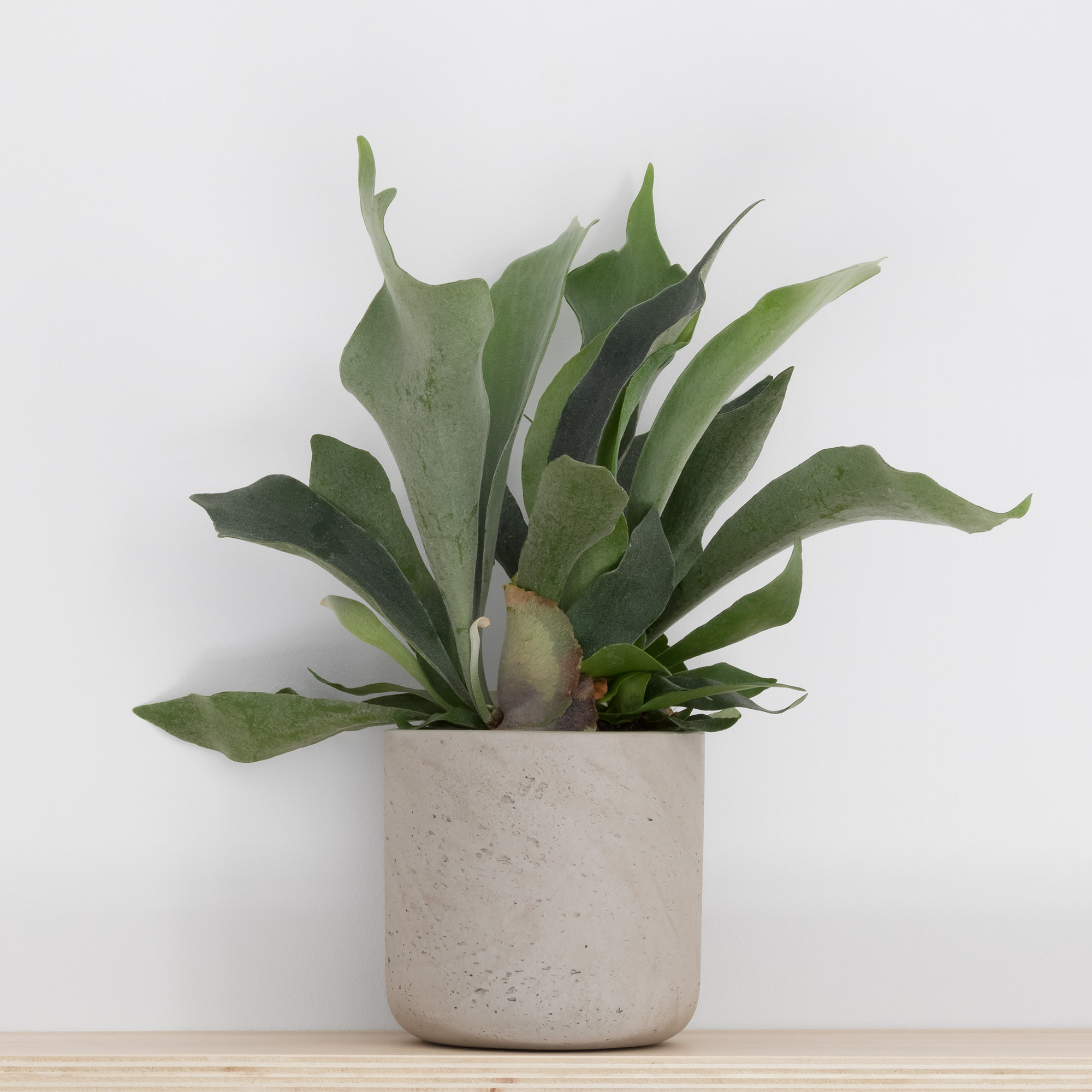 Staghorn fern in concrete planter on plywood shelf