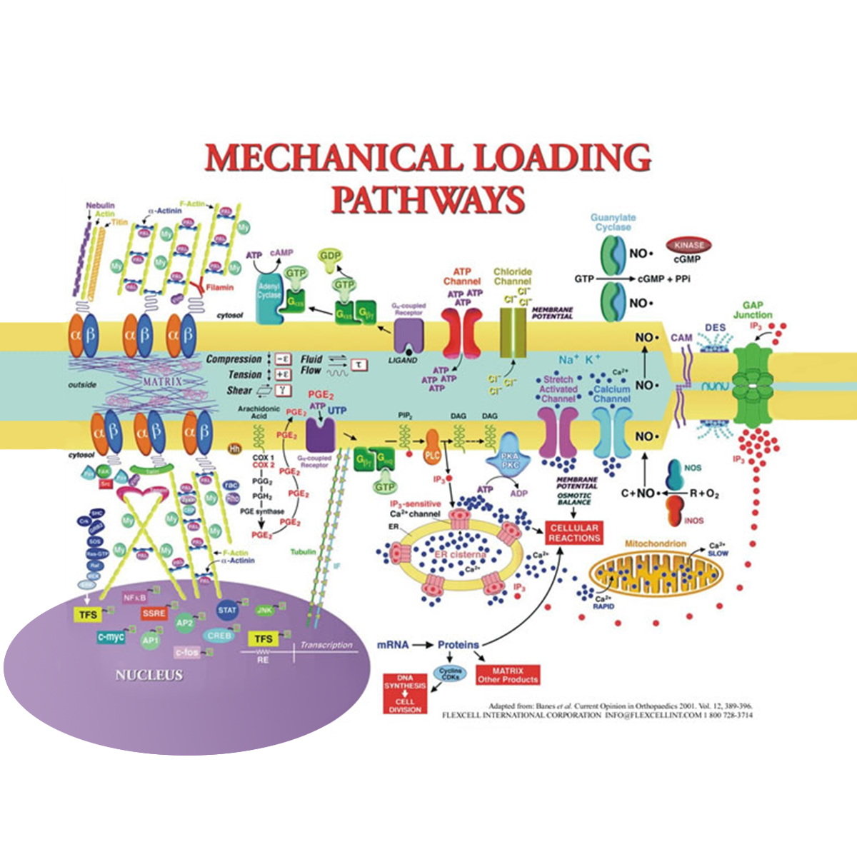 Mechanical Loading Pathways