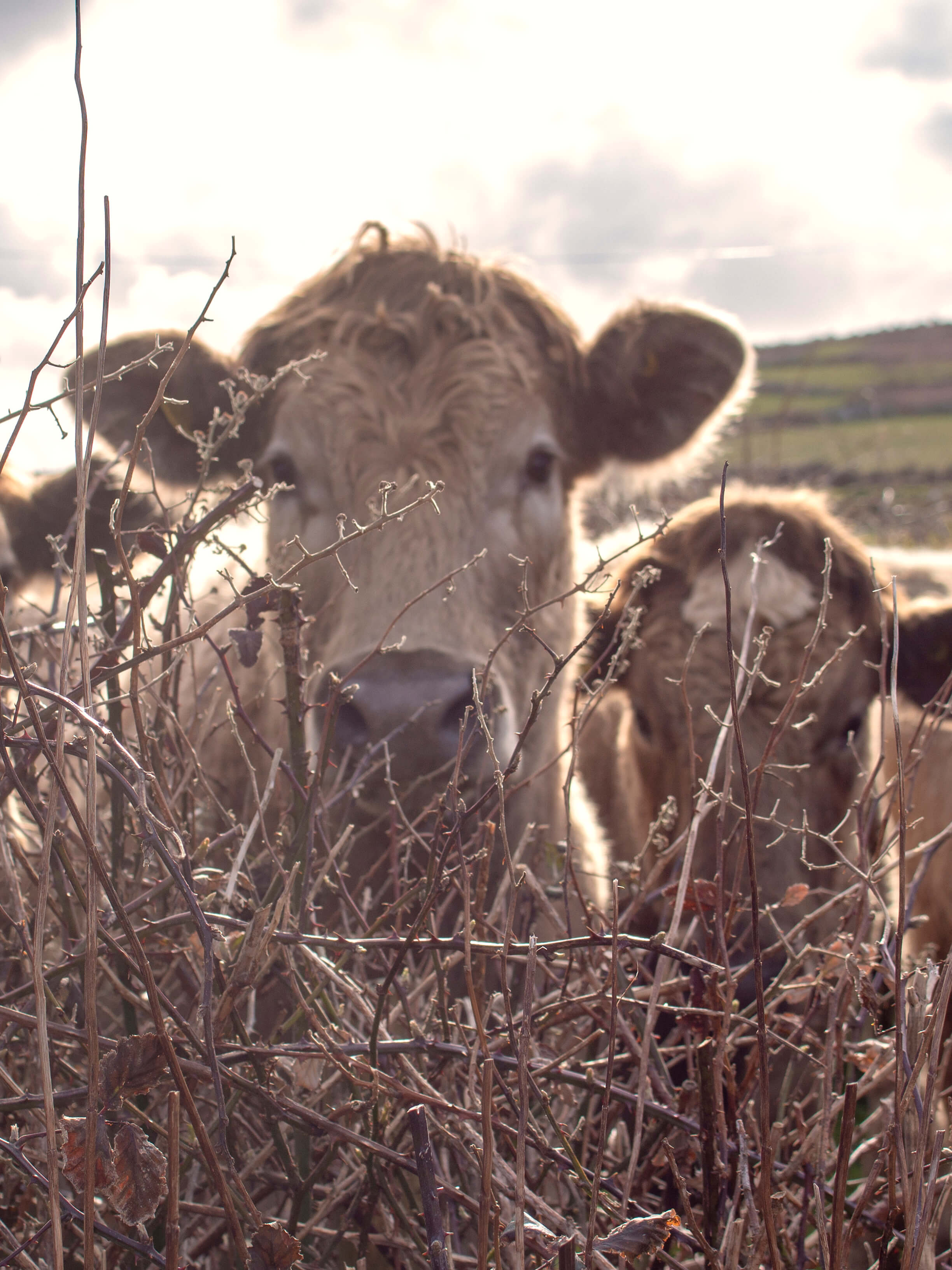 a group of four cows standing in a field looking at the camera. There is hedging in front of them.
