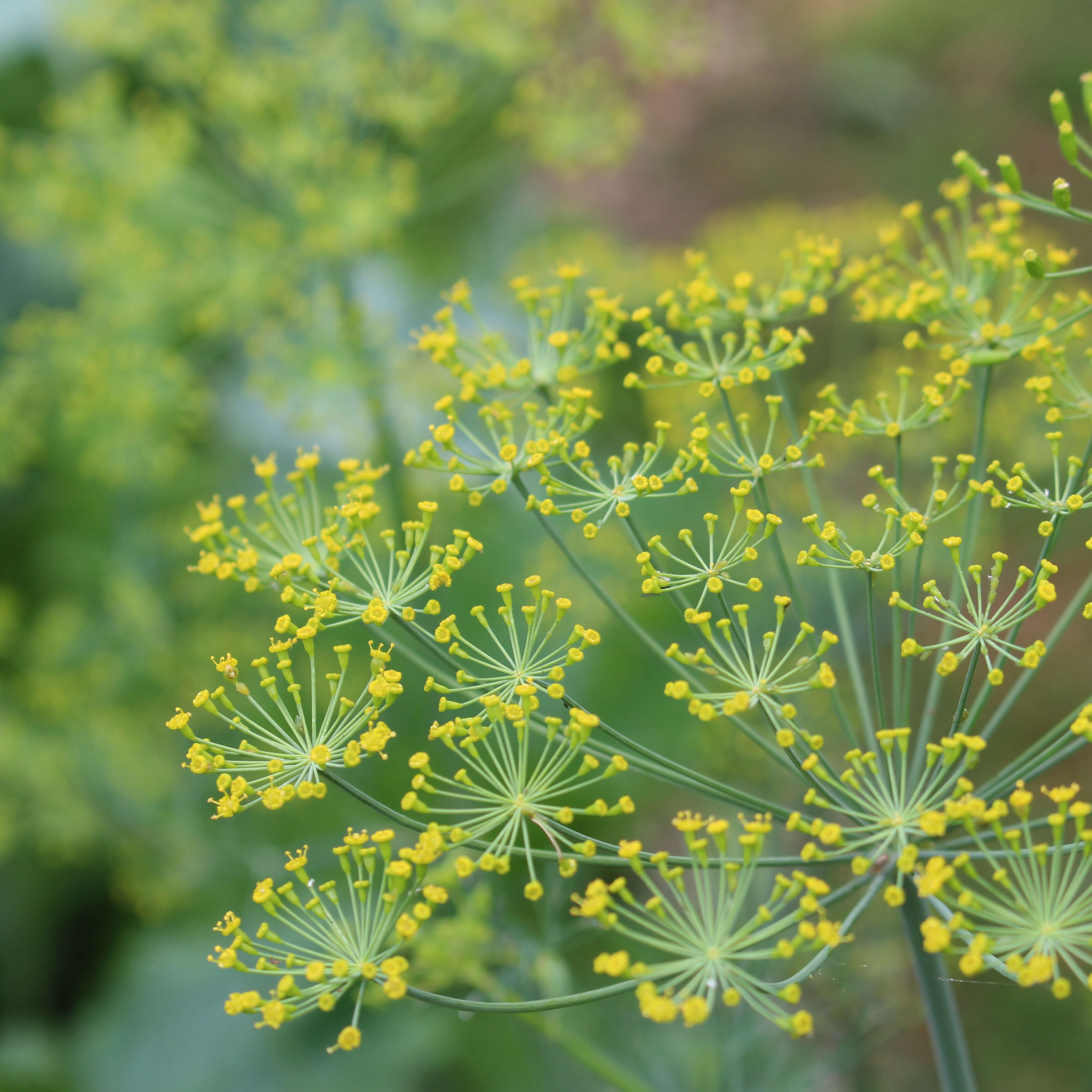 dill flower screens with yellow flowers and green stems. Close-up of a screen with another blurry one in the background.
