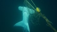 Whales, crocodiles and dolphins: The painful toll of Queensland's shark program