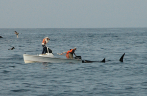 White shark and boat credit to TOPP