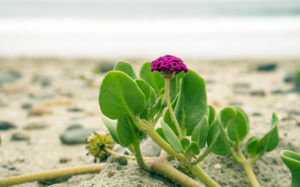 Native plants are taking root and flowering in the recently completed Cardiff State Beach Living Shoreline project in Encinitas. (California State Parks photo)