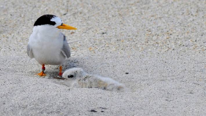 The New Zealand fairy tern is New Zealand's most endangered bird.