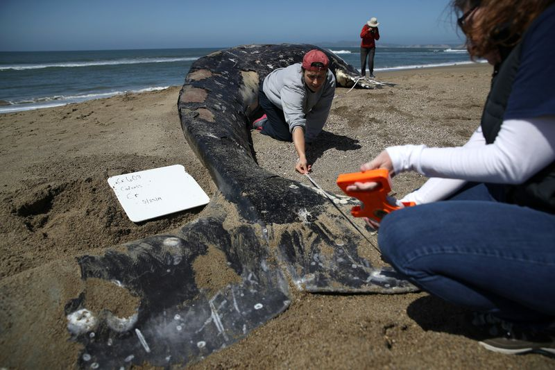 Dozens of gray whales have been found dead along the Pacific coast between California and Washington since the beginning of the year, many exhibiting signs of malnutrition.