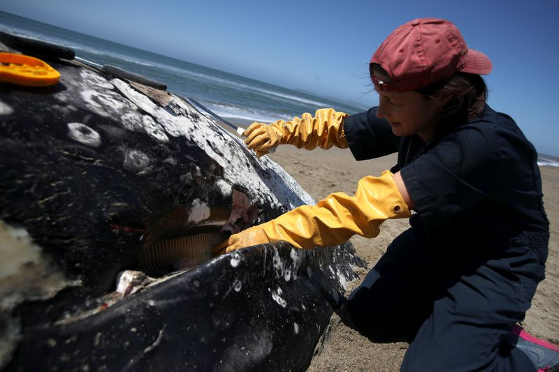 Barbie Halaska, necropsy manager with the Marine Mammal Center, removes sections of baleen from a juvenile gray whale that washed up on Limantour Beach at Point Reyes National Seashore.