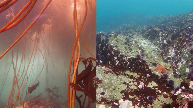 """Comparison of area once covered by a bull kelp forest (left) and now only sea urchin are left. 