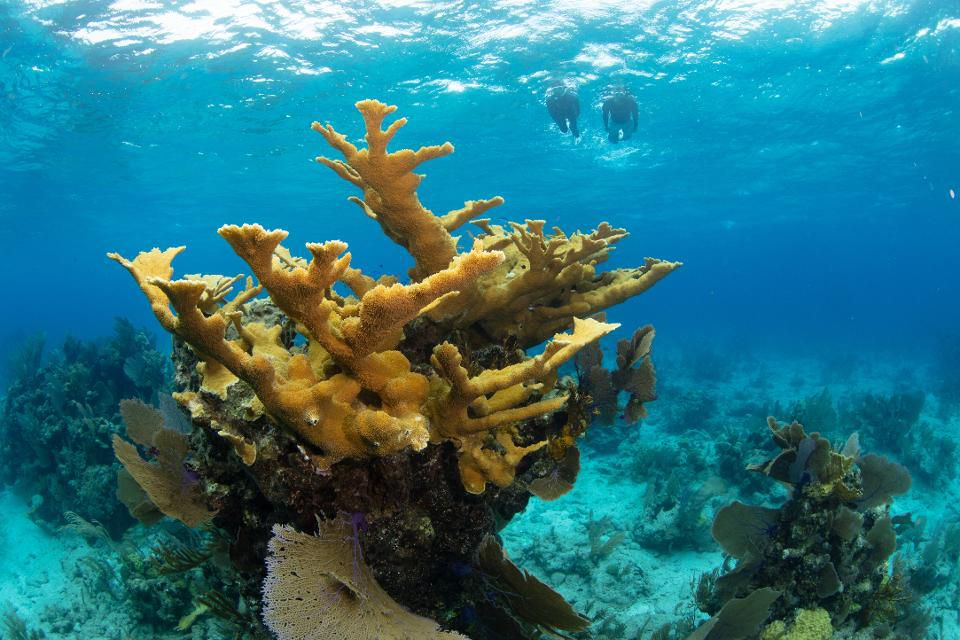 An Elkhorn coral, a type of branching coral.