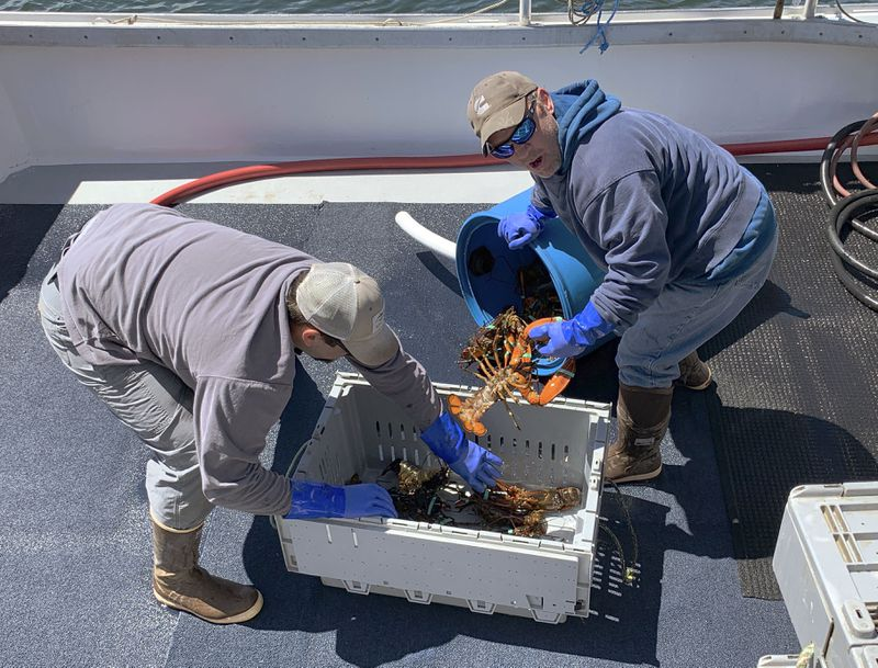 "In this Wednesday, May 8 photo, lobsterman Bryan Tufts, right, and a colleague transfer their lobster into crates soon after their fishing boat landed at the town wharf in Kennebunkport, Maine. Ratcheting up tension ahead of talks in Washington, China vowed Thursday to defend its own interests and retaliate if President Donald Trump goes ahead with more tariff hikes in a dispute over trade and technology. Beijing will impose ""necessary countermeasures"" if the increases take effect Friday as planned, the Commerce Ministry said, including possibly tariffs on lobsters."