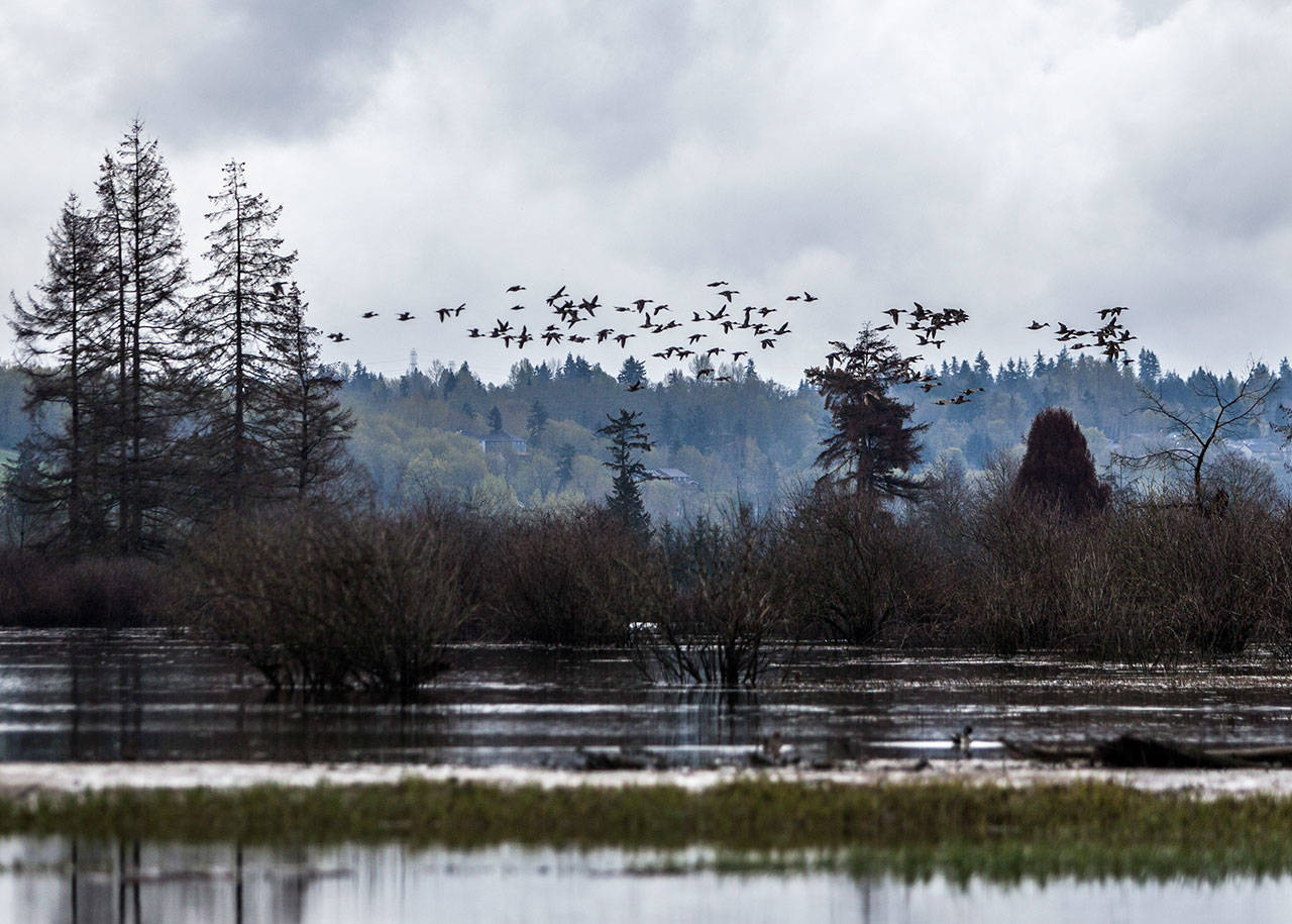 A large flock of ducks fly above the recently restored wetland area of Smith Island along Union Slough on April 11 in Everett. (Olivia Vanni / The Herald)