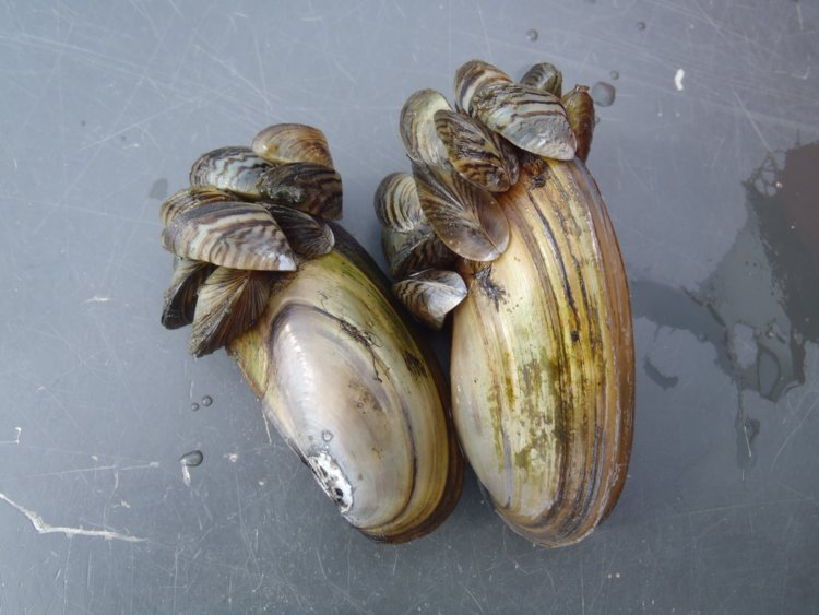 Zebra mussel smothering native mussel