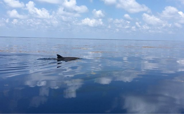 Mengqiu Wang was performing field work in the Gulf of Mexico last year when she saw dolphins seeming to enjoy their foray through the Sargassum.