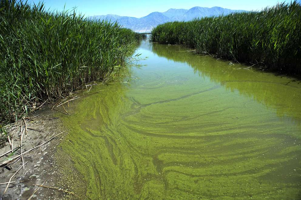 A blue-green algae bloom in Provo Bay in Provo, Utah. [Rick Egan | Salt Lake Tribune via the Associated Press (2018)]