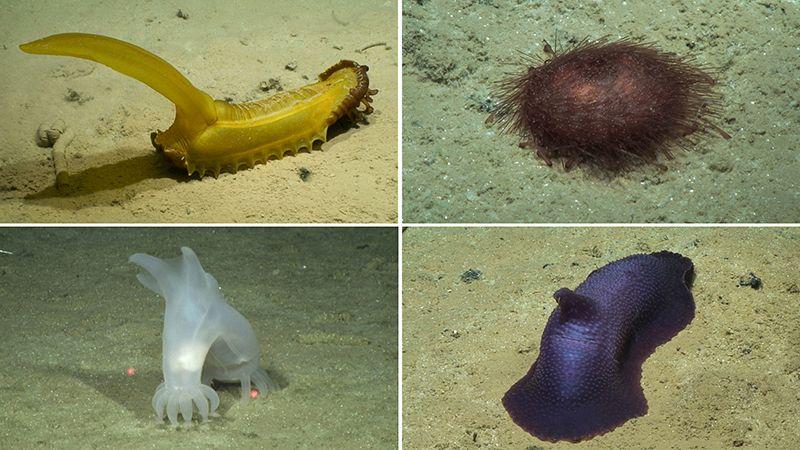 Fauna located in the Clarion-Clipperton Zone sea floor.