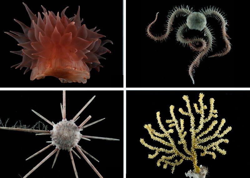Four types of deep sea fauna